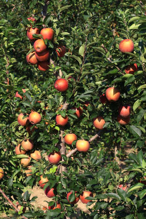 Cultivation of red apples in the Italian countryside, Emilia-Romagna Stockfoto