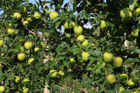 Cultivation of yellow apples in the Italian countryside, Emilia-Romagna