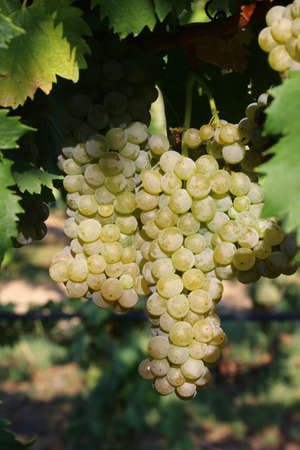 Bunches of white grapes for viticulture for the production of wine, detail Stockfoto - 154408225