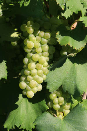 Bunches of white grapes for viticulture for the production of wine, detail
