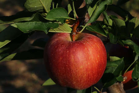 Cultivation of red apples in the Italian countryside, Emilia-Romagna region, Italy Stockfoto