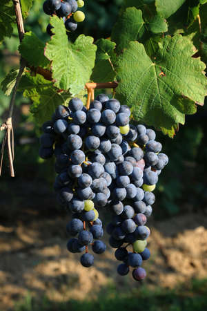 Bunches of black grapes for the production of Lambrusco wine, emilia romagna, italy