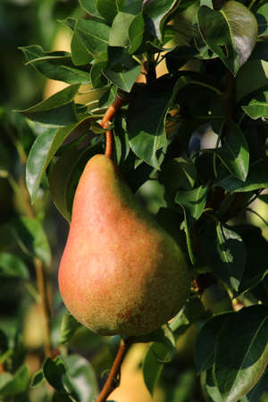 Pear fruits in agriculture, cultivation and summer production Stock fotó