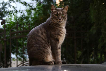 Gray brindle persian cat on the roof of a car