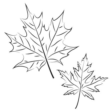 Maple leaves drawn on white background, vector illustration Иллюстрация