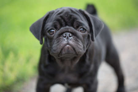 Little black pug puppy
