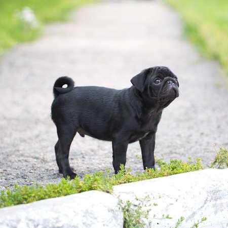 black pug: Little black pug puppy