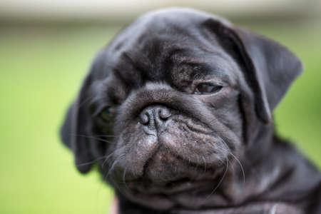 black pug: Little black pug puppy photo for you