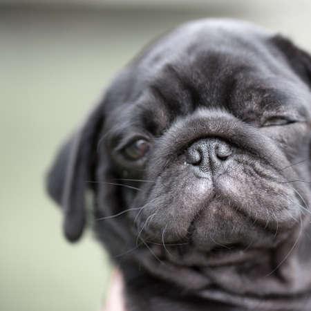 pug puppy: Little black pug puppy