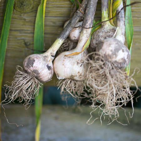 plucked: Garlic plucked from the garden photo for you Stock Photo