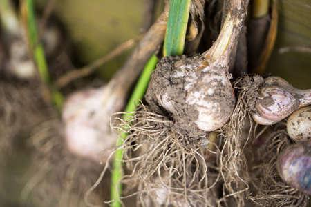 plucked: Garlic plucked from the garden Stock Photo