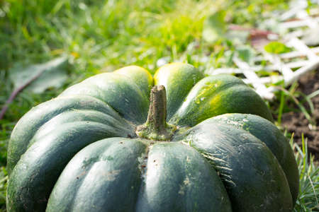 large pumpkin: Large green pumpkin photo for you