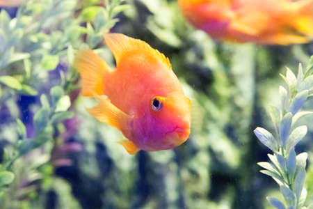 discus: Beautiful colorful fish in the aquarium photo for you Stock Photo