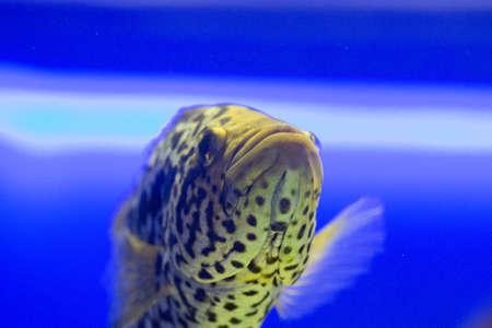 discus: Beautiful colorful fish in the aquarium