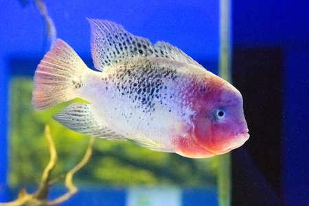 blue fish: Beautiful colorful fish in the aquarium