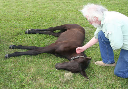 A veterinary and a sleeping colt on green grass photo