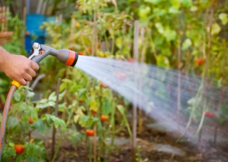manguera: Equipos de riego de jardines - mano sostiene la manguera de aspersi�n para el riego jardinero regando las plantas con la manguera y el agua en el pulverizador de vegetales