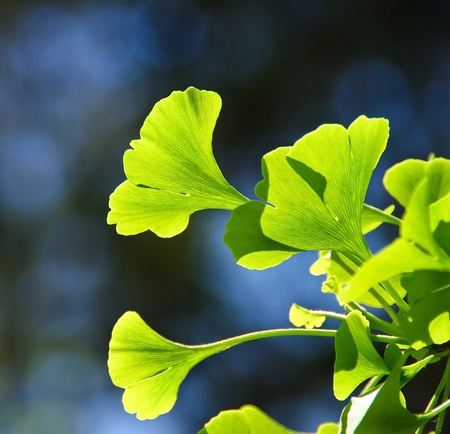 ginkgo leaf: Ginkgo biloba green leafs - national tree of China. Ginkgo leaves in the sunlight. Ginkgo is used to improve memory in alternative herbal medicine. Stock Photo