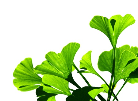 ginkgo leaf: Ginkgo biloba green leaf isolated on white background  The ginko leafs is the symbol of Japanese tea ceremony  Ginkgo is used to improve memory in alternative medicine