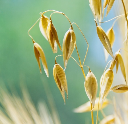 the spike: Oat ears with seeds  Agriculture background - ripe spikes of oats  on the field closeup