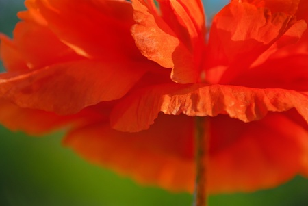 Red poppy blossom   Abstract floral background with one poppy flower closeup  photo