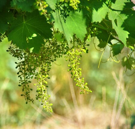 sauternes: Vine sprout with young grape clusters