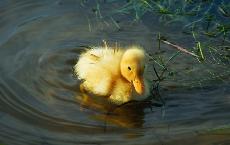 little cute duckling swimming in the lake photo