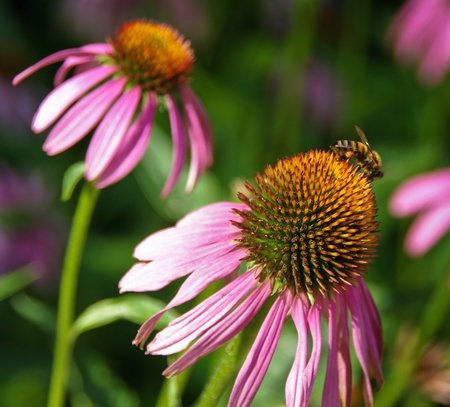 stimulate: Blooming medicinal herb echinacea purpurea or coneflower  - homeopathic means to stimulate the body Stock Photo