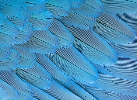 background bright blue parrot feathers of wing, closeup photo