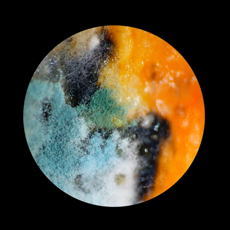 fungus of mould under the microscope