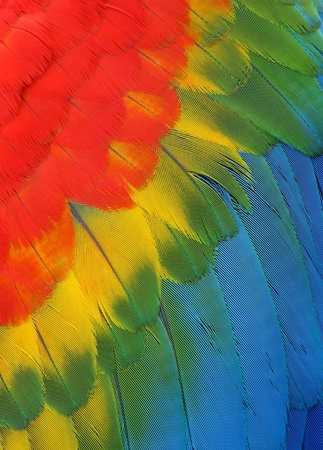 background of bright colored feathers macaw parrot