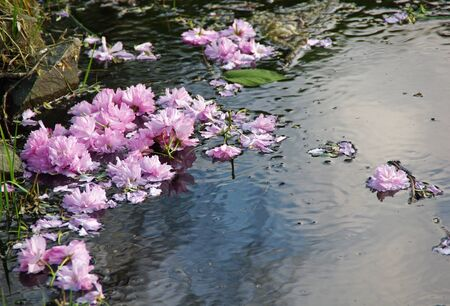 Sakura flowers on the water surface  Japanese cherry blossoms in spring  Stock Photo