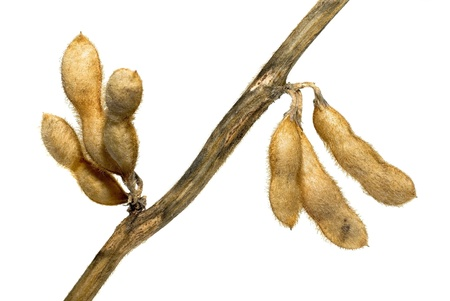 Soy bean pods isolated on white background photo