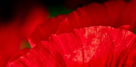 Red poppy flower with blurry background  Flowering poppies - macro shot floral background  Petals of poppy for your design - closeup  photo