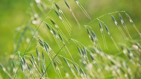 Oat ears - cereal food, image of the soft focus  Grain background - spikes of oats on the field  Agricultural field with green oats in spring season