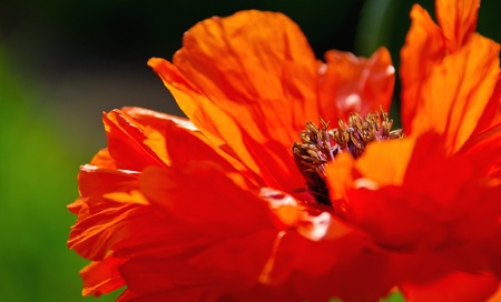 Red poppy flower on field, closeup  Garden flowers in spring - poppies flowers in sunny day  photo