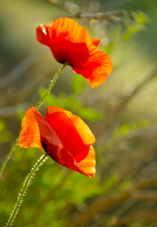 Two red poppy on the field, macro shot  Flowering poppies in the meadow with a blurry floral background  Rural landscape with blossom poppy meadows  Stock Photo