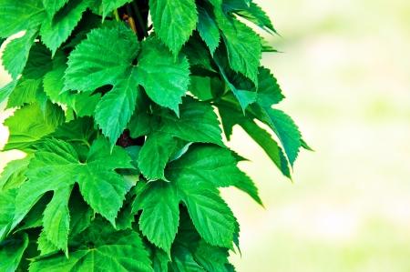 humulus lupulus:  Hop or humulus lupulus leaves - ingredient of the brewery industry