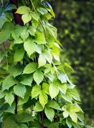 lupulus:  Hop or humulus lupulus leaves - ingredient of the brewery industry