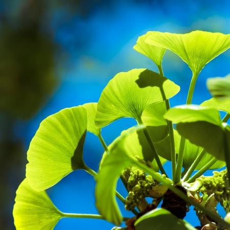 Ginkgo biloba green leafs on a tree