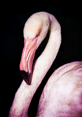 Pink flamingo portrait on black background photo