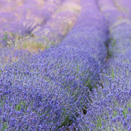 Violet lavender blossoms in summer day photo