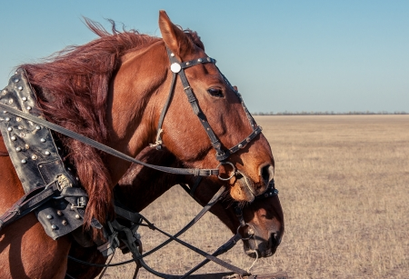 head collar: two horses in the steppe Stock Photo