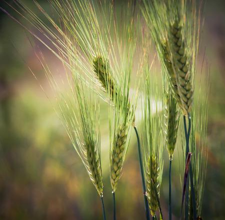 Spikes of wheat closeup photo