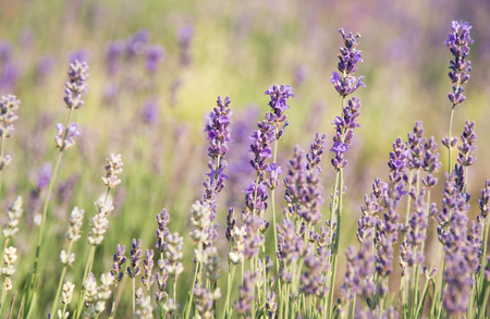 pastel flowers: Lavender field in Provence