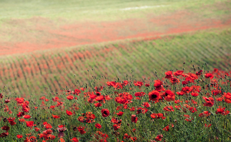 Red wild flowers on green meadow photo