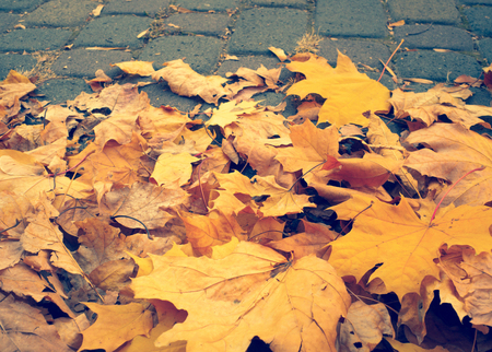 fall colors: Autumn maple leaves