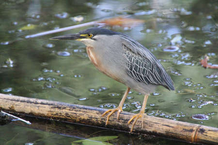 Striated Heron sitting on a Bamboo in the water in Medellin, Colombia photo