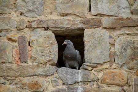 pidgeon: Pidgeon peeking out of a hole in the stone wall of Iglesia Santa Clara in Bogota, Colombia