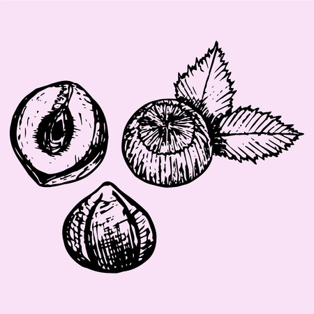 filberts: Hazelnuts with leaves, doodle style, sketch illustration, hand drawn, vector